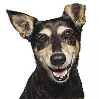 Corgi Mix Dog for adoption in Oakland Park, Florida - Beedie
