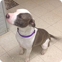 Terrier (Unknown Type, Medium)/Plott Hound Mix Dog for adoption in Cleveland, Ohio - Poinsettia