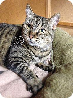 Domestic Shorthair Cat for adoption in San Carlos, California - Mona
