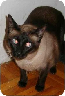 Siamese Cat for adoption in Etobicoke, Ontario - Lily