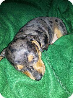 Dachshund Puppy for adoption in Portland, Oregon - SAVANA