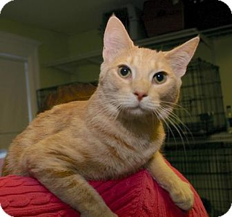 Domestic Shorthair Cat for adoption in Winston-Salem, North Carolina - Dionne