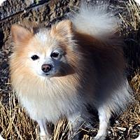 Adopt A Pet :: Iggy - Bridgeton, MO
