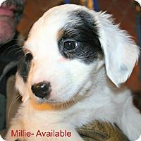 Adopt A Pet :: Millie - Poughkeepsie, NY