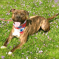 Mastiff/Boxer Mix Dog for adoption in Los Angeles, California - Handsome Smokey-VIDEO