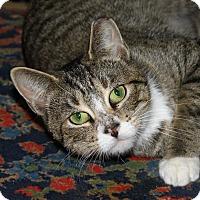 Adopt A Pet :: Savvy Kit-Tea - North Branford, CT