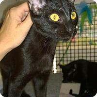 Bombay Cat for adoption in West Palm Beach, Florida - Kenya