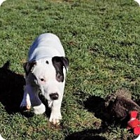 Adopt A Pet :: Scarlett - Sacramento, CA