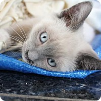 Adopt A Pet :: Mandy McCoolCat - Los Angeles, CA