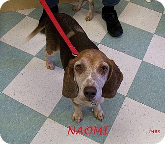 Beagle Dog for adoption in Ventnor City, New Jersey - NAOMI