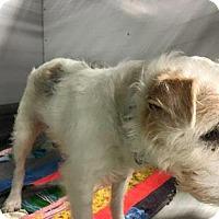 Adopt A Pet :: Luna - Liberty, MO