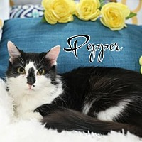 Domestic Mediumhair Cat for adoption in knoxville, Tennessee - Pepper  Female