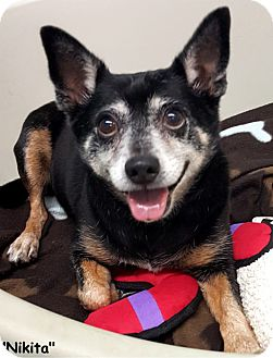Chihuahua Mix Dog for adoption in Key Largo, Florida - Nikita