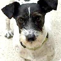 Adopt A Pet :: Jack-Adoption Pending - Boulder, CO