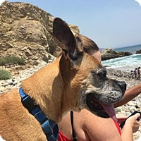 Boxer Dog for adoption in Huntington Beach, California - Peppa
