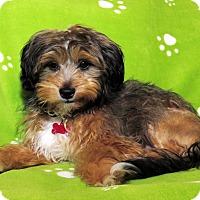 Adopt A Pet :: Bam Bam Puppy - Encino, CA