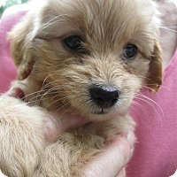 Adopt A Pet :: Yagi - Lincolndale, NY