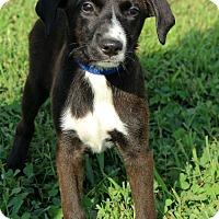 Adopt A Pet :: India - Waldorf, MD