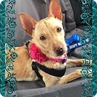Adopt A Pet :: A374646  Izzy - San Antonio, TX