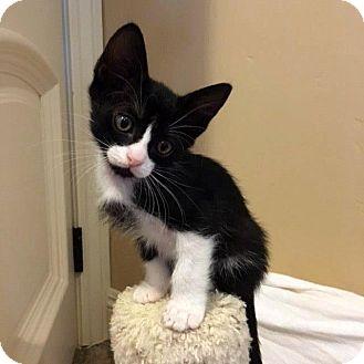 Domestic Shorthair Kitten for adoption in North Las Vegas, Nevada - Jermey