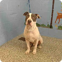 Pit Bull Terrier Mix Dog for adoption in San Bernardino, California - URGENT on 10/15 SAN BERNARDINO
