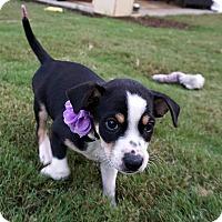Collie Mix Puppy for adoption in Durham, North Carolina - Starr