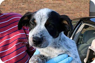 Australian Shepherd/Cattle Dog Mix Puppy for adoption in Sugar Grove, Illinois - Darwin