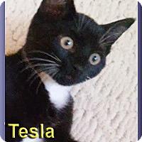 Adopt A Pet :: Tesla - Aldie, VA