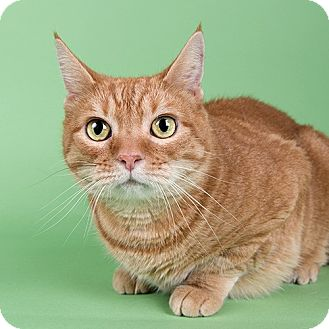 Domestic Shorthair Cat for adoption in Wilmington, Delaware - Marmalade