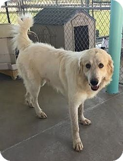 Great Pyrenees Dog for adoption in Pacific, Missouri - Blake
