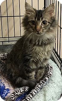 Domestic Mediumhair Cat for adoption in Loogootee, Indiana - Aras