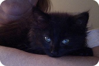 Domestic Mediumhair Kitten for adoption in Covington, Kentucky - Hattie