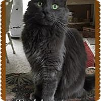 Domestic Longhair Cat for adoption in Rochester, Michigan - Teddy