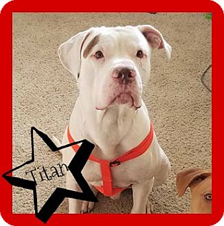 American Pit Bull Terrier Dog for adoption in Des Moines, Iowa - Titan-ADOPTION PENDING