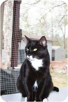 Domestic Shorthair Cat for adoption in Jacksonville, Florida - Chester 0104