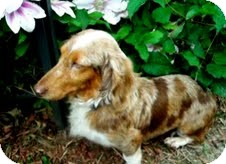 Dachshund Dog for adoption in St. Louis, Missouri - Helen Dapple Dash