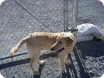 Labrador Retriever Mix Puppy for adoption in Beaver, Utah - Barkley