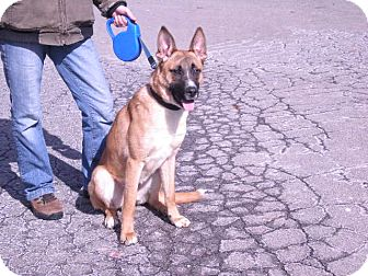 "Shepherd (Unknown Type) Mix Dog for adoption in New Castle, Pennsylvania - "" Luke """