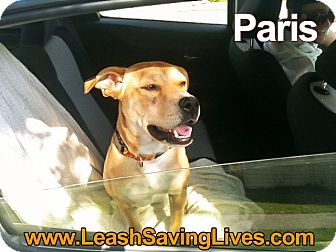 Labrador Retriever/Golden Retriever Mix Dog for adoption in Pitt Meadows, British Columbia - Paris