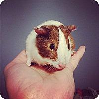 Adopt A Pet :: Joy - Pittsburgh, PA