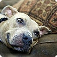 Adopt A Pet :: Juno - WARREN, OH