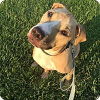 Pit Bull Terrier Mix Dog for adoption in Las Vegas, Nevada - Rocky