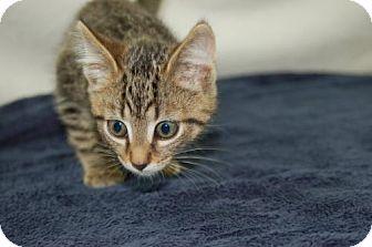 Domestic Shorthair Kitten for adoption in Harrisonburg, Virginia - Birks