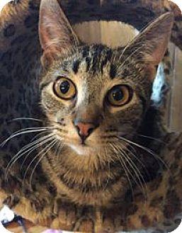 Domestic Shorthair Cat for adoption in Davison, Michigan - Gordon