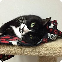 Domestic Shorthair Cat for adoption in Chicago Heights, Illinois - Aarti