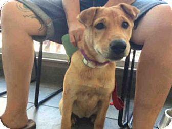 Shar Pei/Labrador Retriever Mix Dog for adoption in San Antonio, Texas - A393394