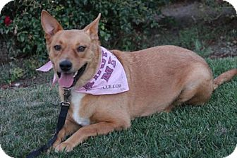 German Shepherd Dog/Basenji Mix Dog for adoption in Corona, California - Priscilla