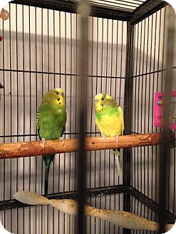 Budgie for adoption in St. Louis, Missouri - The Silly Six