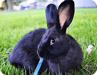 Flemish Giant Mix for adoption in Bruce Township, Michigan - Colton