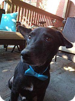 German Shepherd Dog Mix Puppy for adoption in Whitestone, New York - Amon